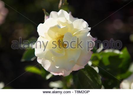 White Dahlia Macro Shot - Stock Photo