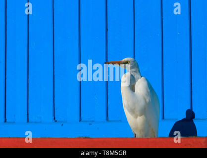 Eastern Great Egret, Ardea modesta, standing against a blue timber wall background near the fishing fleet at St Helens wharf precinct on the Bay of Fi - Stock Photo
