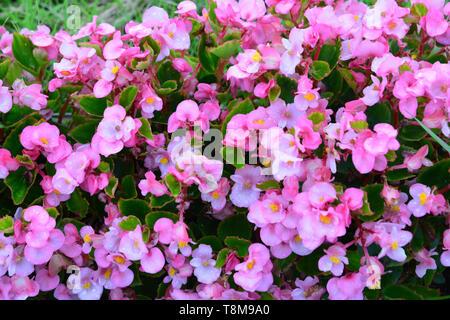 Pink tuberous begonias flowers (Begonia tuberhybrida) in garden - Stock Photo