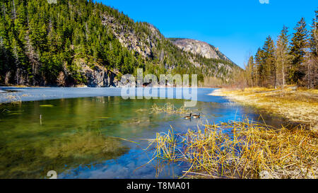 Canada Geese on the partly frozen water of Crown Lake, along Highway 99 in Marble Canyon Provincial Park in British Columbia, Canada - Stock Photo