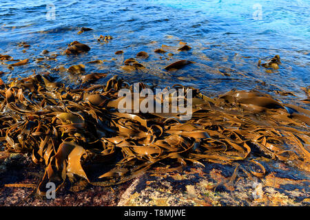 Kelp forest fronds washed up on rocks at low tide on the East coast of Tasmania Australia with clear blue water - Stock Photo