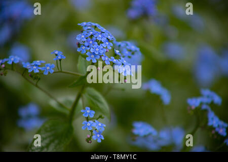 Brunnera sibirica, blue flowers forget-me-not close up, Blue small flowers on a flower bed - Stock Photo