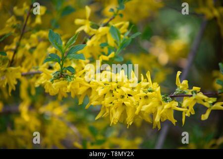Flowering forsythia in springtime. Forsythia - genus of shrubs and small trees Oleaceae family, blooming yellow flowers. Forsythia shrub having bright - Stock Photo