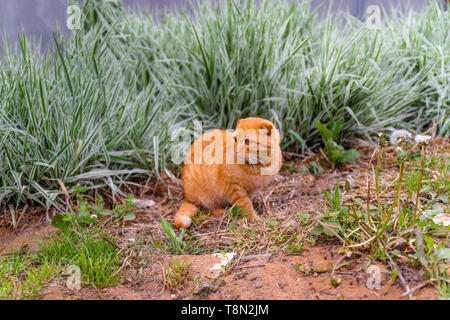 home red Scottish fold cat sitting in the bushes - Stock Photo