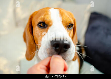 Feeding beagle dog with a treat from hand indoors, closeup. Animal background - Stock Photo
