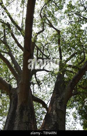 Adansonia digitata or Baobab with leaves at the Alipore Zoological Garden in Kolkata, India. - Stock Photo