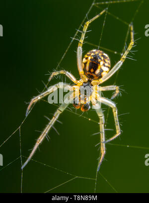 Big yellow translicent spider spreading legs on his spider web - Stock Photo
