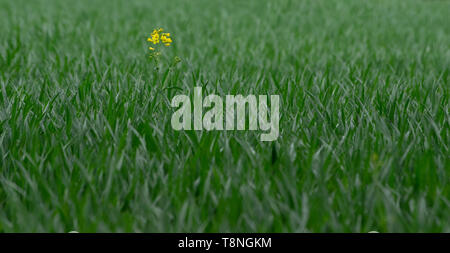 one single rapeseed plant in a field of green cereals ... different concepts - Stock Photo