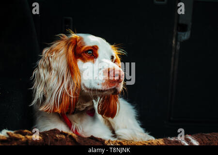cute dog in car on a red lead with long ears - Stock Photo