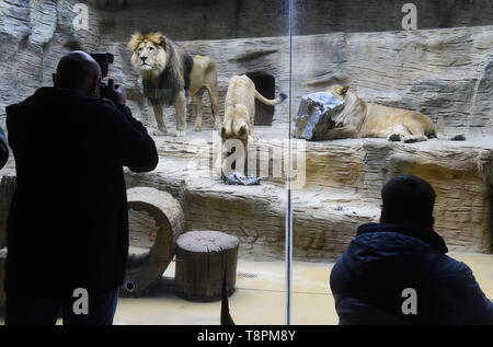 Olomouc Zoo, Czech Republic. 14th May, 2019. About a year old male of Barbary lion Thembi, supervised by its mother lioness Lily and father Simon, plays with a mock desert warthog to simulate hunting in Olomouc Zoo, Czech Republic, on Tuesday, May 14, 2019. Credit: Ludek Perina/CTK Photo/Alamy Live News - Stock Photo