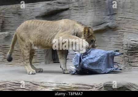 Olomouc Zoo, Czech Republic. 14th May, 2019. About a year old male of Barbary lion Thembi plays with a mock desert warthog to simulate hunting in Olomouc Zoo, Czech Republic, on Tuesday, May 14, 2019. Credit: Ludek Perina/CTK Photo/Alamy Live News - Stock Photo