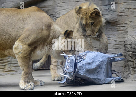 Olomouc Zoo, Czech Republic. 14th May, 2019. About a year old male of Barbary lion Thembi, supervised by its mother lioness Lily, plays with a mock desert warthog to simulate hunting in Olomouc Zoo, Czech Republic, on Tuesday, May 14, 2019. Credit: Ludek Perina/CTK Photo/Alamy Live News - Stock Photo