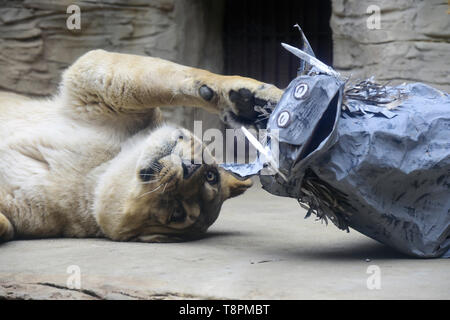 Olomouc Zoo, Czech Republic. 14th May, 2019. Barbary lioness Lily plays with a mock desert warthog to simulate hunting in Olomouc Zoo, Czech Republic, on Tuesday, May 14, 2019. Credit: Ludek Perina/CTK Photo/Alamy Live News - Stock Photo