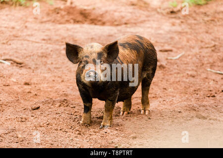 May 12, 2019 - GlóRia De Dourados, Mato Grosso do Sul, Brazil - A caipira pig seen on a farm in Brazil.Livestock farming has a great relevance in Brazilian exports, in addition to supplying the domestic market. It is an economic activity developed in rural areas.Agriculture in Brazil is one of the main bases of the country's economy. Agriculture is an activity that is part of the primary sector where the land is cultivated and harvested for subsistence, export or trade. Credit: Rafael Henrique/SOPA Images/ZUMA Wire/Alamy Live News - Stock Photo