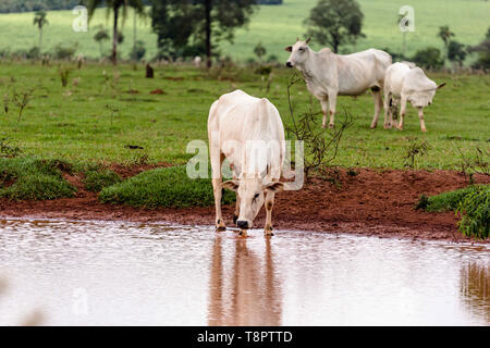May 12, 2019 - GlóRia De Dourados, Mato Grosso do Sul, Brazil - A Nelore cattle seen drinking from a stream on a farm. These are mainly kept for beef.Livestock farming has a great relevance in Brazilian exports, in addition to supplying the domestic market. It is an economic activity developed in rural areas.Agriculture in Brazil is one of the main bases of the country's economy. Agriculture is an activity that is part of the primary sector where the land is cultivated and harvested for subsistence, export or trade. Credit: Rafael Henrique/SOPA Images/ZUMA Wire/Alamy Live News - Stock Photo
