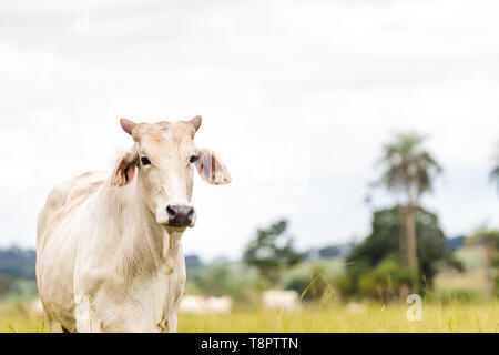 May 12, 2019 - GlóRia De Dourados, Mato Grosso do Sul, Brazil - A Nelore cattle seen on a farm.Livestock farming has a great relevance in Brazilian exports, in addition to supplying the domestic market. It is an economic activity developed in rural areas.Agriculture in Brazil is one of the main bases of the country's economy. Agriculture is an activity that is part of the primary sector where the land is cultivated and harvested for subsistence, export or trade. Credit: Rafael Henrique/SOPA Images/ZUMA Wire/Alamy Live News - Stock Photo
