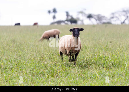 May 12, 2019 - GlóRia De Dourados, Mato Grosso do Sul, Brazil - Sheep seen grazing on green pasture on a farm.Livestock farming has a great relevance in Brazilian exports, in addition to supplying the domestic market. It is an economic activity developed in rural areas.Agriculture in Brazil is one of the main bases of the country's economy. Agriculture is an activity that is part of the primary sector where the land is cultivated and harvested for subsistence, export or trade. Credit: Rafael Henrique/SOPA Images/ZUMA Wire/Alamy Live News - Stock Photo
