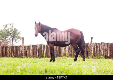 May 12, 2019 - GlóRia De Dourados, Mato Grosso do Sul, Brazil - A brown mare seen standing on farm grass in Brazil.Livestock farming has a great relevance in Brazilian exports, in addition to supplying the domestic market. It is an economic activity developed in rural areas.Agriculture in Brazil is one of the main bases of the country's economy. Agriculture is an activity that is part of the primary sector where the land is cultivated and harvested for subsistence, export or trade. Credit: Rafael Henrique/SOPA Images/ZUMA Wire/Alamy Live News - Stock Photo