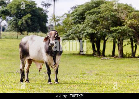 May 12, 2019 - GlóRia De Dourados, Mato Grosso do Sul, Brazil - An Ox of elite seen on a farm in Brazil.Livestock farming has a great relevance in Brazilian exports, in addition to supplying the domestic market. It is an economic activity developed in rural areas.Agriculture in Brazil is one of the main bases of the country's economy. Agriculture is an activity that is part of the primary sector where the land is cultivated and harvested for subsistence, export or trade. Credit: Rafael Henrique/SOPA Images/ZUMA Wire/Alamy Live News - Stock Photo