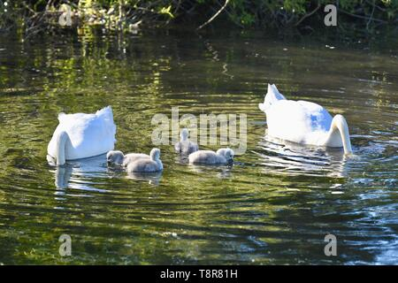A pair of White Mute Swans (Cygnus olor) tend their recently hatched cygnets. Foots Cray Meadows, Sidcup, Kent. UK