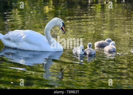 A mother White Mute Swan (Cygnus olor) tends her newly hatched cygnets. Foots Cray Meadows, Sidcup, Kent