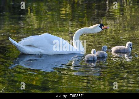 A mother White Mute Swan (Cygnus olor) tends to her newly hatched cygnets. Foots Cray Meadows, Sidcup, Kent