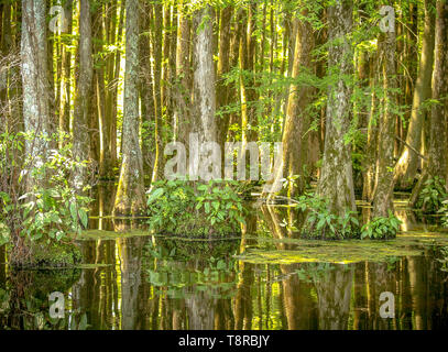 Cypress trees on Greenfield Lake, North Carolina reflections with the sun shining through in midday - Stock Photo