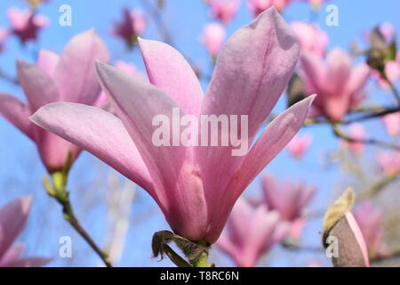 Magnolia 'Heaven Scent'. Rosy pink blossoms of Magnolia 'Heaven Sent' in April - UK. AGM - Stock Photo