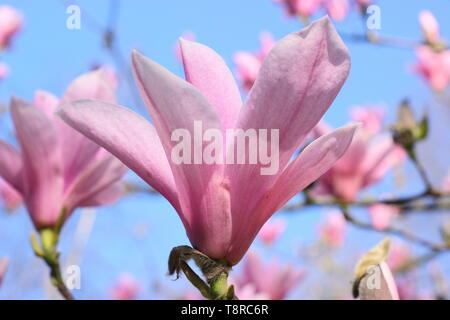 Magnolia 'Heaven Scent'. Rosy pink blossoms of Magnolia 'Heaven Sent' in April - UK. AGM - Stock Photo
