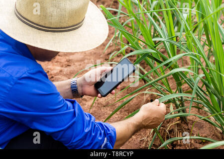 A farmer seen in a field of sugar cane with his smartphone. Brazil became a model of diversification of the use of sugar cane as a raw material, manufacturing varied products from the plant. Agriculture in Brazil is one of the main bases of the country's economy. Agriculture is an activity that is part of the primary sector where the land is cultivated and harvested for subsistence, export or trade. - Stock Photo