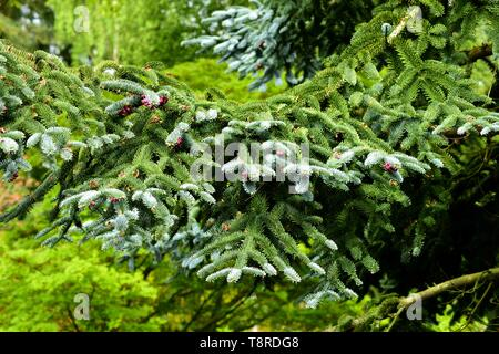 A branch of the Blue Noble Fir. - Stock Photo