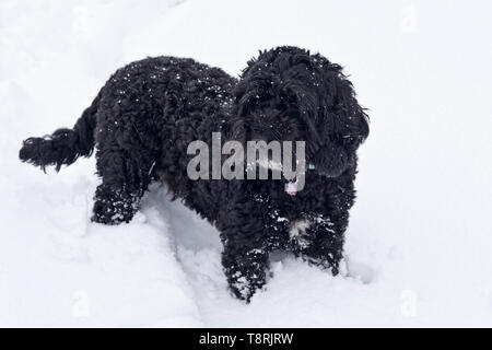 A small black dog, cockerpoo, with his legs buried deep in a fresh layer of white snow, Berkshire, February - Stock Photo
