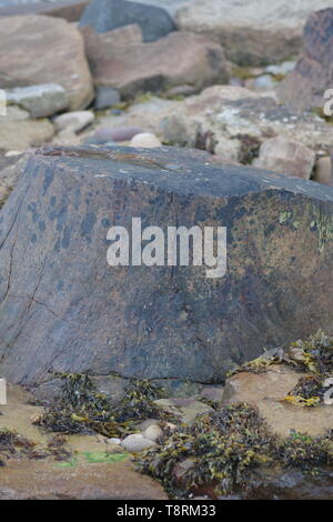 Fossilised Carboniferous Lepidodendron Tree Trunk on the Beach at Crail, Fife, Scotland, UK. - Stock Photo