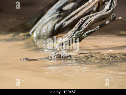 A juvenile saltwater crocodile floating in the Mary River in Kakadu, Australia - Stock Photo