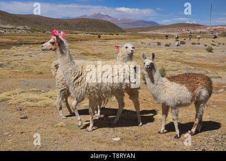 Llamas on the altiplano, Salar de Uyuni, Bolivia - Stock Photo