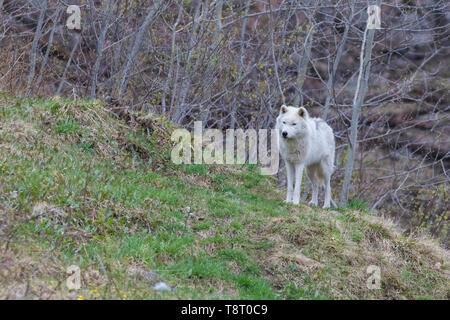 Arctic wolf in spring - Stock Photo