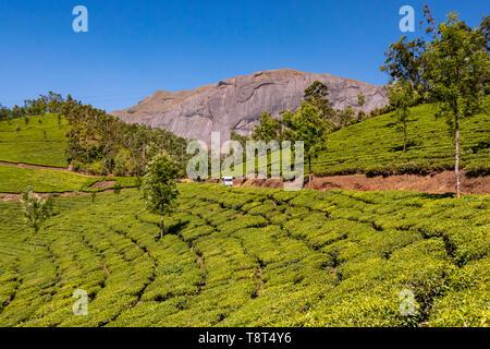 Horizontal view of Anamudi peak with the tea plantations in Eravikulam National Park in Munnar, India. - Stock Photo