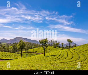 Horizontal aerial view across the tea plantations at Eravikulam National Park in Munnar, India. - Stock Photo