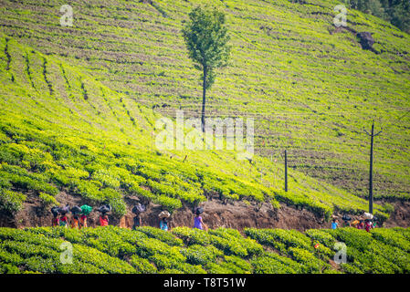 Horizontal view of tea plantation workers walking home in Munnar, India. - Stock Photo