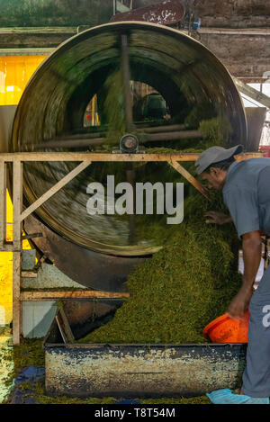 Vertical view of a worker at a tea factory in Munnar, India. - Stock Photo