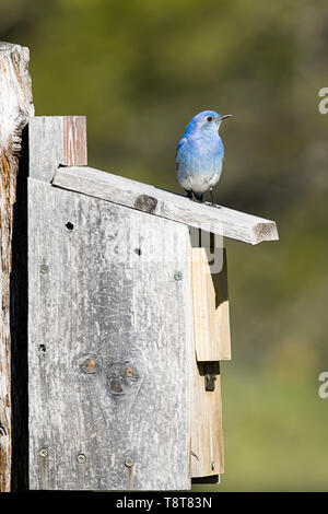 A tiny mountain bluebird is perched atop a bird house at Farragut State Park in north Idaho. - Stock Photo