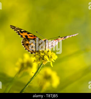 Face first close up on bright orange painted lady butterfly sitting on yellow mustard wildflower with flowers in background. - Stock Photo