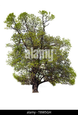 Old Ash Tree With Beautiful Canopy Isolated on White Background - Stock Photo