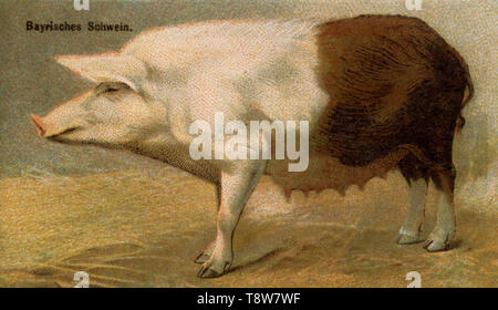 Domestic pig, Pork breed: Bavarian pig Sus scrofa domesticus,  (agricultural book, 1898) - Stock Photo