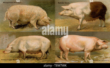 Domestic pig breeds: Mangalica pig (wool pig), Bavarian pig, Large-eared pig, Meissner pig Sus scrofa domesticus,  (agricultural book, 1898) - Stock Photo