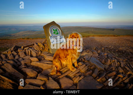 A red cocker spaniel, sat by the summit cairn on top of Pen-Y-Fan mountain, Brecon, Powys, Wales UK. Pen-yFan is the highest peak in South Wales. - Stock Photo