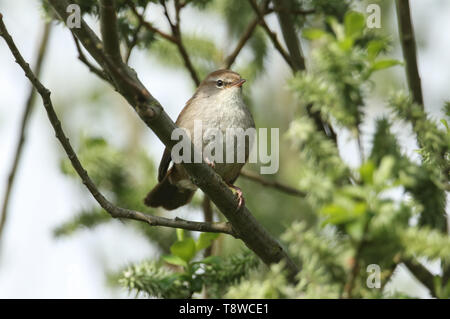 A shy and elusive Cetti's Warbler (Cettia cetti) perched on a branch in a Willow tree. - Stock Photo