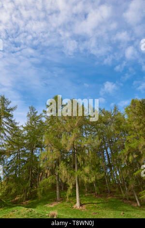 A small wood of Scots pines, Pinus sylvestris stand proud on a hillside in Glen Prosen in the Angus Glens of Scotland on a fine morning in May. - Stock Photo
