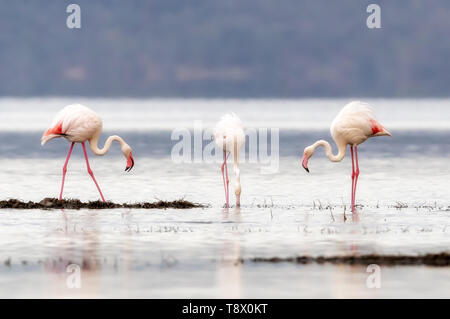 Soft and dreamy processing of three Greater Flamingoes, Phoenicopterus roseus, feeding in the shallows of Lake Nakuru, Kenya. - Stock Photo