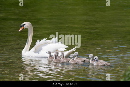 White Mute Swan cygnets (Cygnus olor) swimming in water with Mother in Spring in West Sussex, England, UK. Young baby cygnets, newly born. - Stock Photo
